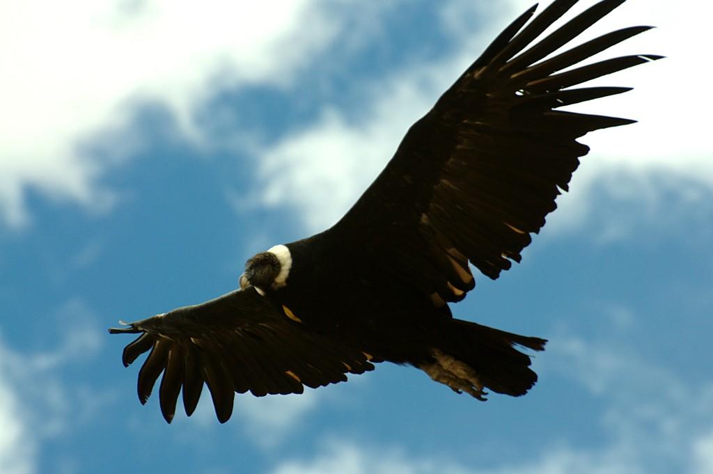 El cóndor andino, cóndor de los Andes o simplemente cóndor (Vultur gryphus) es una especie de ave de la familia Cathartidae que habita en Sudamérica.