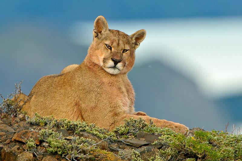 Se le conoce como léon de montaña es un mamífero carnívoro que pertenece a la familia de los félidos.
