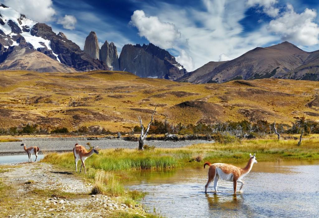 Es un mamífero artiodáctilo doméstico de la familia Camelidae, abundante en la Puna o Altiplano de los Andes de Chile.