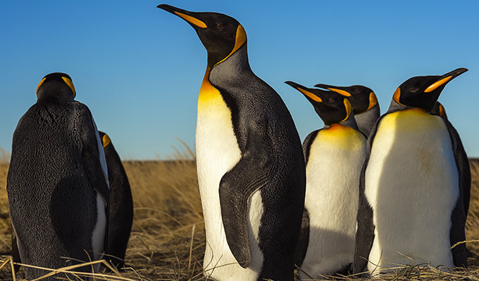 El pingüino rey es el segundo pingüino más grande después del pingüino emperador.