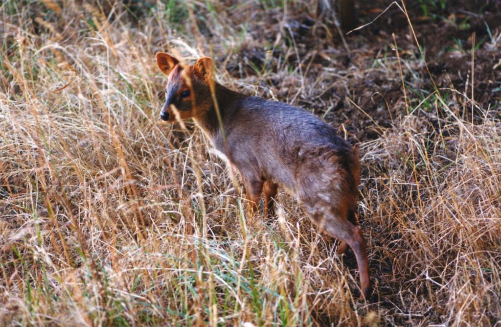 El pudú ciervo vive en los bosques,en áreas sotobosque denso,especialmente bambúes como la quila.