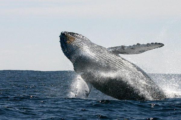 ballena - azul